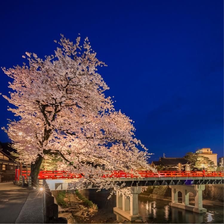 夜の赤橋と桜
