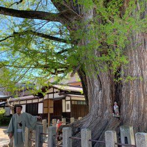 高山国分寺の銀杏